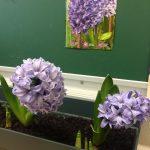 Une fleur de hyacinthe cultivée en classe
