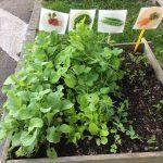 Un carré de légume cultivé par les enfants en extérieur